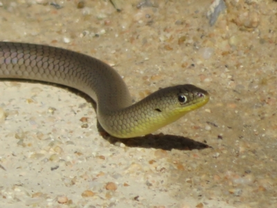 Delma inornata (Olive Legless-lizard) at Gigerline Nature Reserve - 2 Apr 2021 by Christine