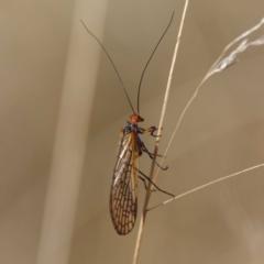 Chorista australis (Autumn scorpion fly) at Uriarra, NSW - 30 Mar 2021 by DPRees125