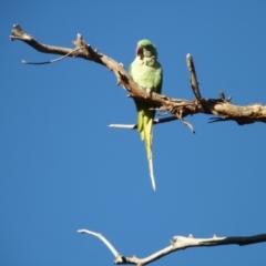Psittacula eupatria (Alexandrine Parakeet) at Percival Hill - 1 Apr 2021 by bigears