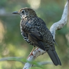 Zoothera lunulata (Bassian Thrush) at ANBG - 1 Apr 2021 by patrickcox