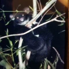 Petauroides volans (Greater Glider) at Lower Cotter Catchment - 2 Apr 2021 by danswell
