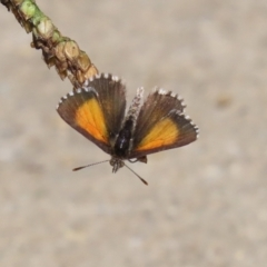 Lucia limbaria (Chequered Copper) at Bonython, ACT - 2 Apr 2021 by RodDeb