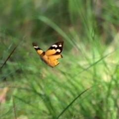 Heteronympha merope (Common Brown) at Bonython, ACT - 2 Apr 2021 by RodDeb
