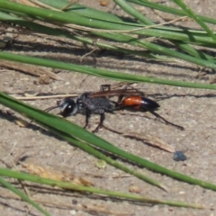Podalonia tydei (Caterpillar-hunter wasp) at Stranger Pond - 2 Apr 2021 by RodDeb
