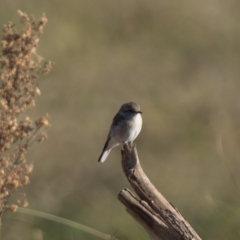 Microeca fascinans (Jacky Winter) at Paddys River, ACT - 2 Apr 2021 by patrickcox