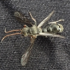 Pompilidae sp. (family) (TBC) at Reidsdale, NSW - 29 Mar 2021 by JanetRussell