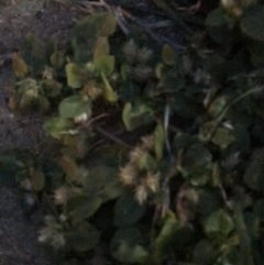 Alternanthera pungens (Khaki Weed) at Australian National University - 26 Mar 2021 by Tapirlord