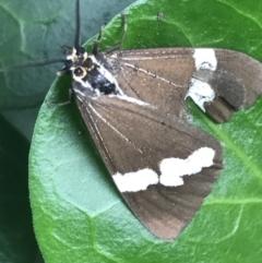 Nyctemera amicus (Senecio or Magpie moth) at Curtin, ACT - 27 Mar 2021 by Tapirlord