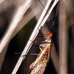 Chorista australis (Autumn scorpion fly) at Mount Painter - 2 Apr 2021 by drakes