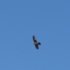 Falco berigora (Brown Falcon) at Cooleman Ridge - 2 Apr 2021 by Tammy
