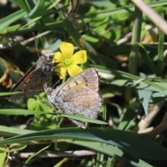 Lucia limbaria (Chequered Copper) at Kambah, ACT - 3 Apr 2021 by Tammy