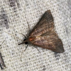 Hypeninae (subfamily) (Snout Moth) at O'Connor, ACT - 2 Apr 2021 by ibaird