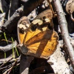 Heteronympha merope (Common Brown) at Cooleman Ridge - 26 Mar 2021 by SWishart