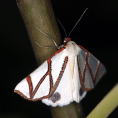 Thalaina clara (Clara's Satin Moth) at O'Connor, ACT - 2 Apr 2021 by ibaird