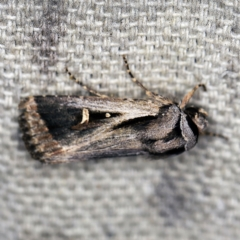 Proteuxoa undescribed species near paragypsa (A Noctuid moth) at O'Connor, ACT - 2 Apr 2021 by ibaird