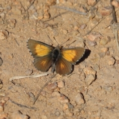 Lucia limbaria (Chequered Copper) at Tuggeranong DC, ACT - 3 Apr 2021 by Tammy