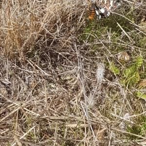 Apina callisto at Bass Gardens Park, Griffith - 4 Apr 2021