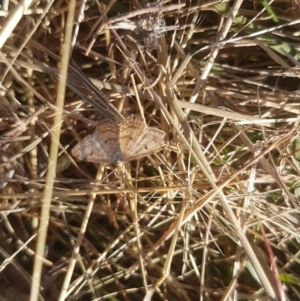 Scopula rubraria at Bass Gardens Park, Griffith - 3 Apr 2021