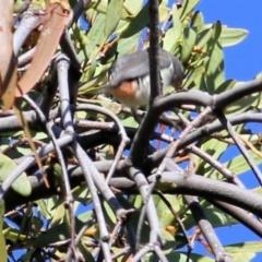 Dicaeum hirundinaceum (Mistletoebird) at Wodonga - 4 Apr 2021 by Kyliegw