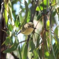 Acanthiza nana (Yellow Thornbill) at Wodonga - 4 Apr 2021 by Kyliegw