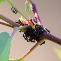 Unidentified True bug (Hemiptera, Heteroptera) (TBC) at Wodonga - 4 Apr 2021 by Kyliegw