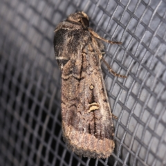 Proteuxoa microspila (Little Noctuid) at O'Connor, ACT - 2 Apr 2021 by ibaird