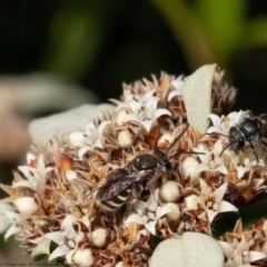 Lipotriches sp. (genus) (Halictid bee) at ANBG - 1 Apr 2021 by Roger