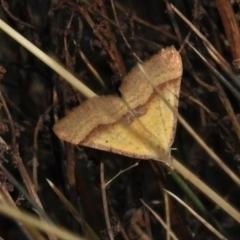 Anachloris subochraria (Golden Grass Carpet) at Cotter River, ACT - 30 Mar 2021 by JohnBundock