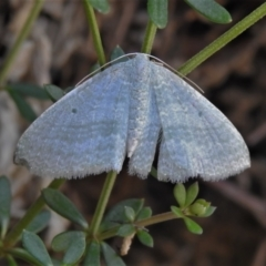 Poecilasthena thalassias (Sea-blue Delicate) at Cotter River, ACT - 30 Mar 2021 by JohnBundock