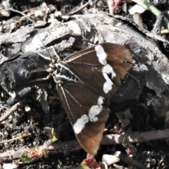 Nyctemera amicus (Senecio or Magpie moth) at Cotter River, ACT - 30 Mar 2021 by JohnBundock