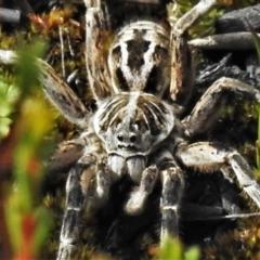 Tasmanicosa godeffroyi (Garden Wolf Spider) at Cotter River, ACT - 30 Mar 2021 by JohnBundock