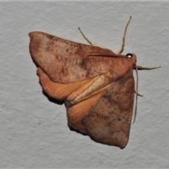 Mnesampela privata (Autumn Gum Moth) at Wanniassa, ACT - 1 Apr 2021 by JohnBundock