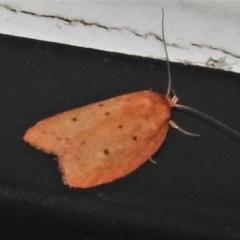 Garrha rubella (A Concealer moth) at Wanniassa, ACT - 1 Apr 2021 by JohnBundock