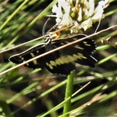 Cruria donowani (Crow or Donovan's Day Moth) at Cotter River, ACT - 3 Apr 2021 by JohnBundock
