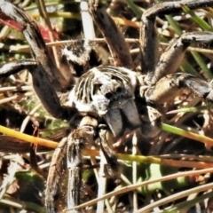 Tasmanicosa godeffroyi (Garden Wolf Spider) at Cotter River, ACT - 3 Apr 2021 by JohnBundock