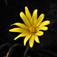 Microseris lanceolata (Yam daisy) at Cotter River, ACT - 30 Mar 2021 by JohnBundock