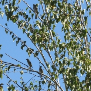 Caligavis chrysops at Murrumbateman, NSW - 4 Apr 2021