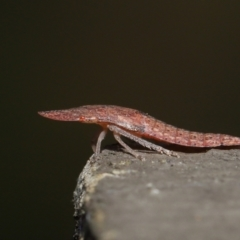 Ledrinae sp. (subfamily) (TBC) at ANBG - 2 Apr 2021 by TimL