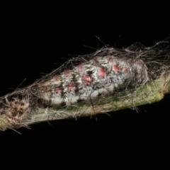 Anestia (genus) (A tiger moth) at Melba, ACT - 30 Mar 2021 by kasiaaus