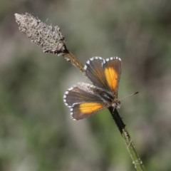 Lucia limbaria (Chequered Copper) at Stromlo, ACT - 4 Apr 2021 by Roman