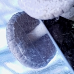 zz agaric (stem; gills white/cream) at Mount Painter - 3 Apr 2021