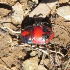 Choerocoris paganus (Ground shield bug) at Namadgi National Park - 3 Apr 2021 by Christine