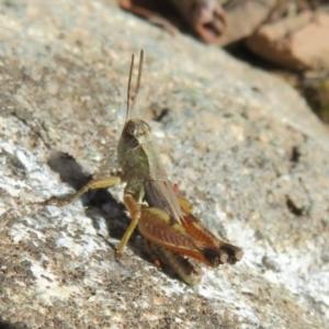 Phaulacridium vittatum at Bimberi Nature Reserve - 3 Apr 2021