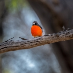 Petroica phoenicea (Flame Robin) at Deua National Park (CNM area) - 1 Apr 2021 by trevsci