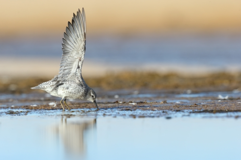 Calidris canutus at Jervis Bay National Park - 29 Mar 2021