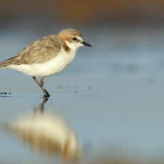 Charadrius ruficapillus (Red-capped Plover) at Jervis Bay National Park - 30 Mar 2021 by Leo