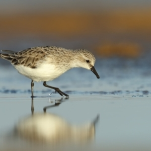 Calidris (Ereunetes) ruficollis (Red-necked Stint) at Jervis Bay National Park by Leo