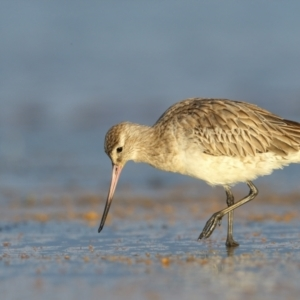Limosa lapponica (Bar-tailed Godwit) at Jervis Bay National Park by Leo