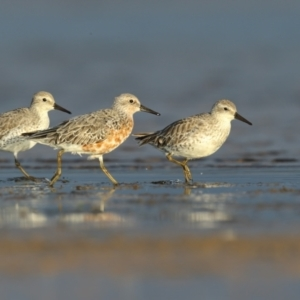 Calidris canutus (Red Knot) at Jervis Bay National Park by Leo