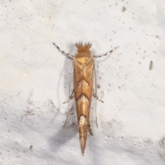 Phyllonorycter messaniella (Zeller's Midget, Gracillariidae) at Melba, ACT - 28 Mar 2021 by kasiaaus